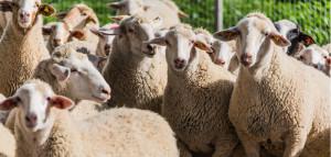 sektor owiec