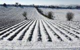Opryski a mróz / opady śniegu