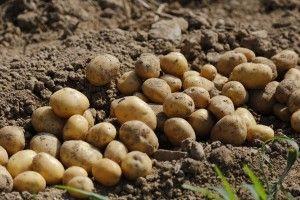 zbiory ziemniaków / punkty dla młodego rolnika