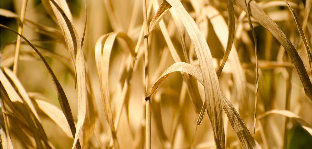 Susza najbardziej zagraża kukurydzy