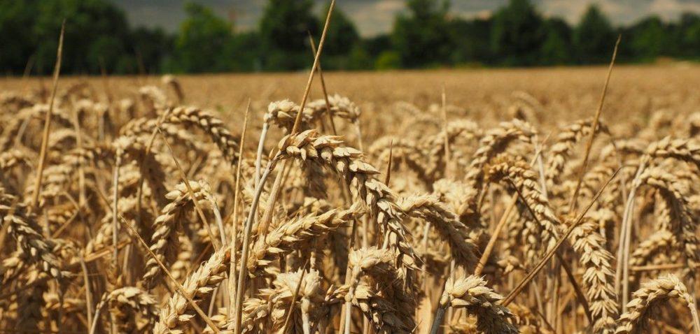 Spadają hurtowe ceny zbóż wUnii Europejskiej