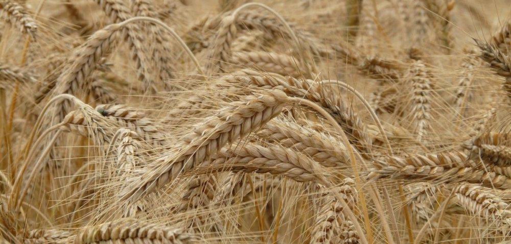 Ceny zbóż wUE: ile obecnie kosztuje pszenica?
