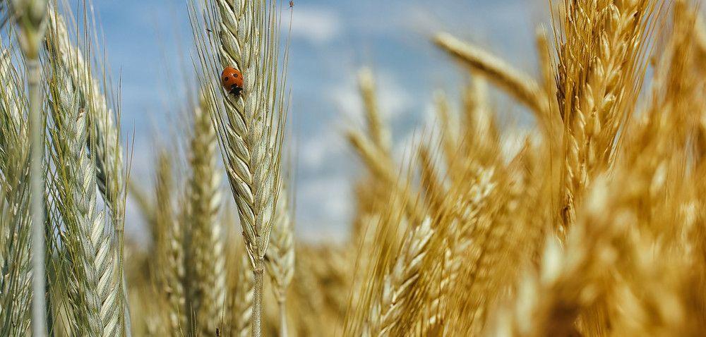 Ceny zbóż ze starych zbiorów aceny młodego ziarna