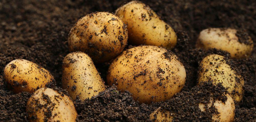 Zbiory ziemniaków niższe niż wubiegłym roku