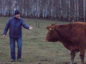 chów krów mamek