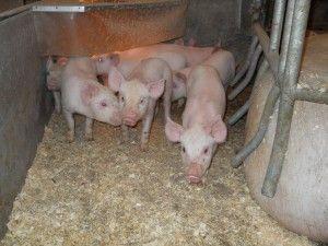 Rasy świń