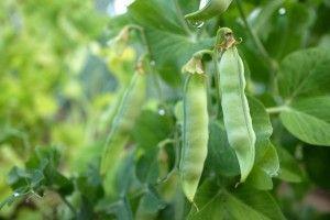 formy ozime roślin strączkowych