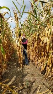Zboża jare, kukurydza