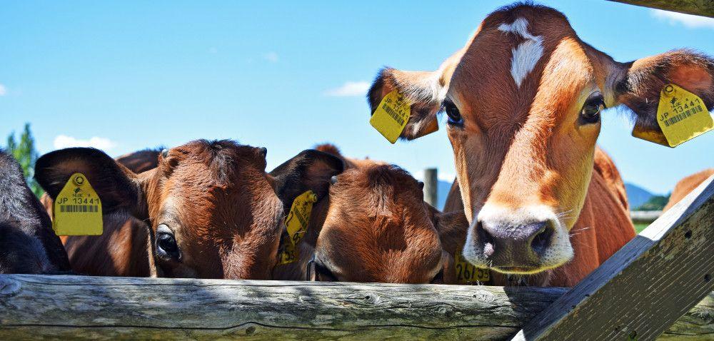 Bydło zamiast trzody: czy opłaca się hodować byki?