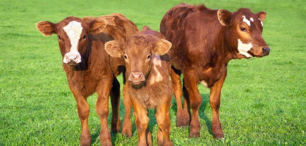 Rozwój produkcji bydła mięsnego: co zdofinansowaniem?