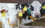 dobrostan bydła
