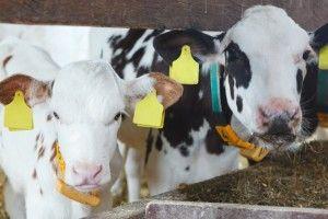 Dobrostan bydła: podstawowe wymagania