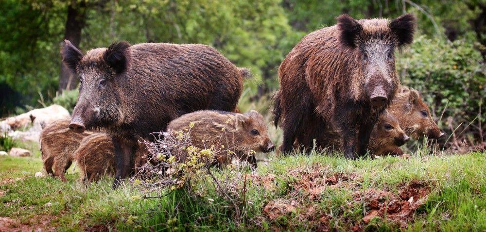 Szkody łowieckie: ile wtym roku zniszczą dziki?