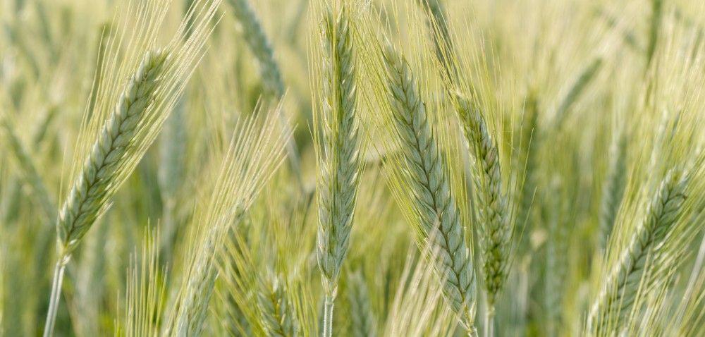 Jęczmień jary: wjaki sposób wybierać nasiona?