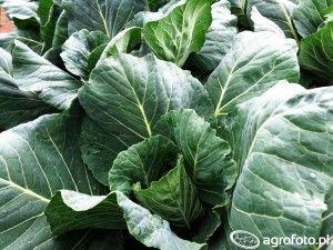 warzywa aochrona