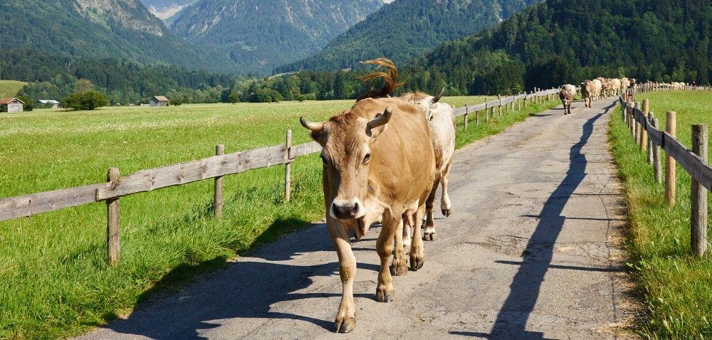 Wyjątkowa akcja Krowa wTrasie