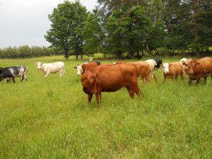 systemy monitorujące krowy