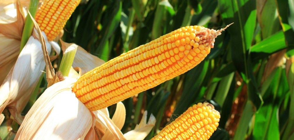 Kukurydza: jak wybrać nasiona?