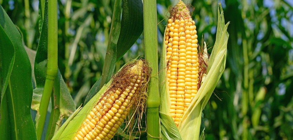 Kukurydza oczami botanika