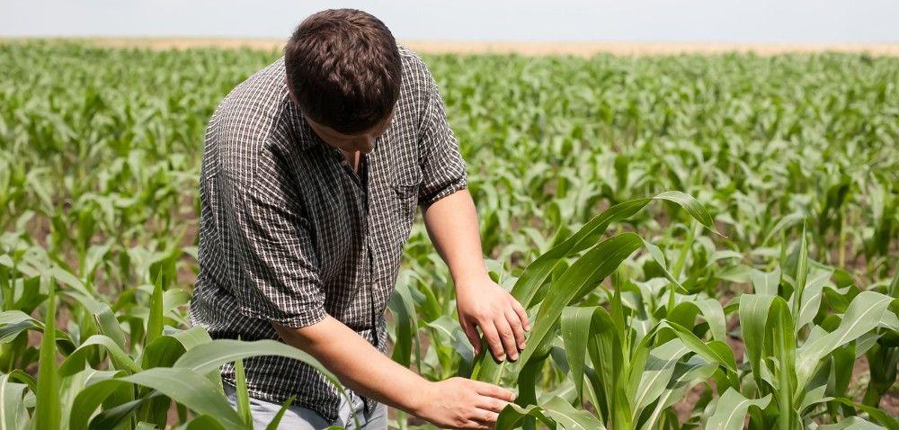 GMO: jak zmodyfikowano kukurydzę?