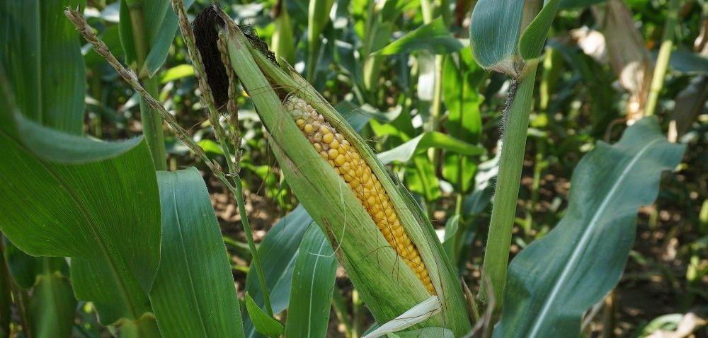 Rośnie unijny import zbóż zUkrainy