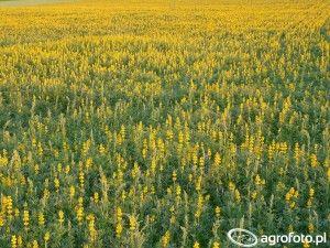 jare iozime odmiany strączkowych