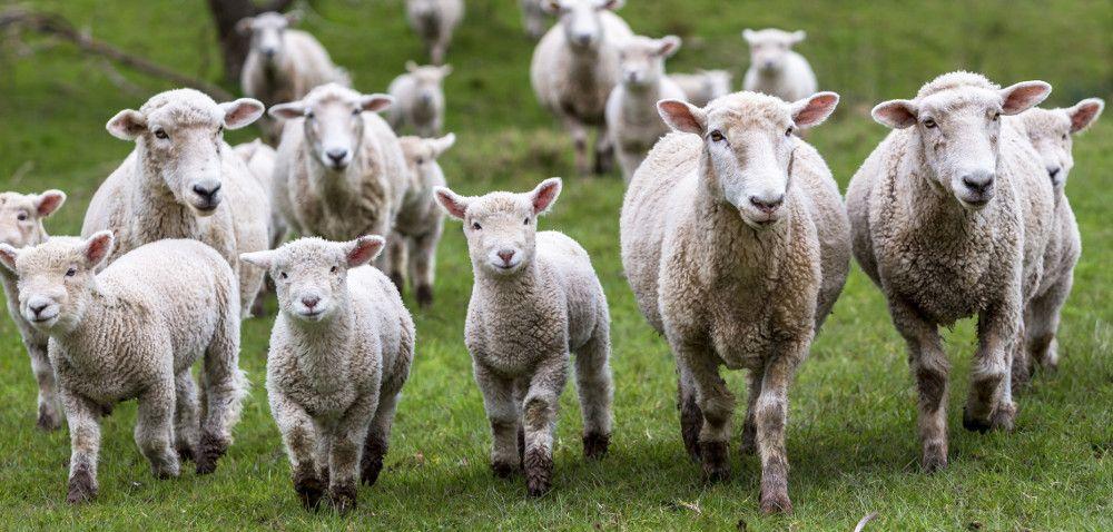 Cena jagniąt wUE pójdzie wgórę