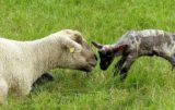 żywiec owce