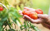 warzywa w przydomowych ogródkach