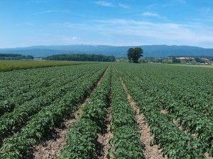 ochrona ziemniaka