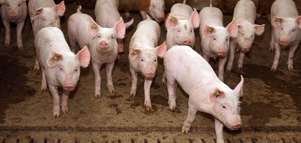 Rasy świń: porównanie użytkowości rozpłodowej, tucznej irzeźnej