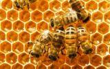Ile pszczół jest w Polsce