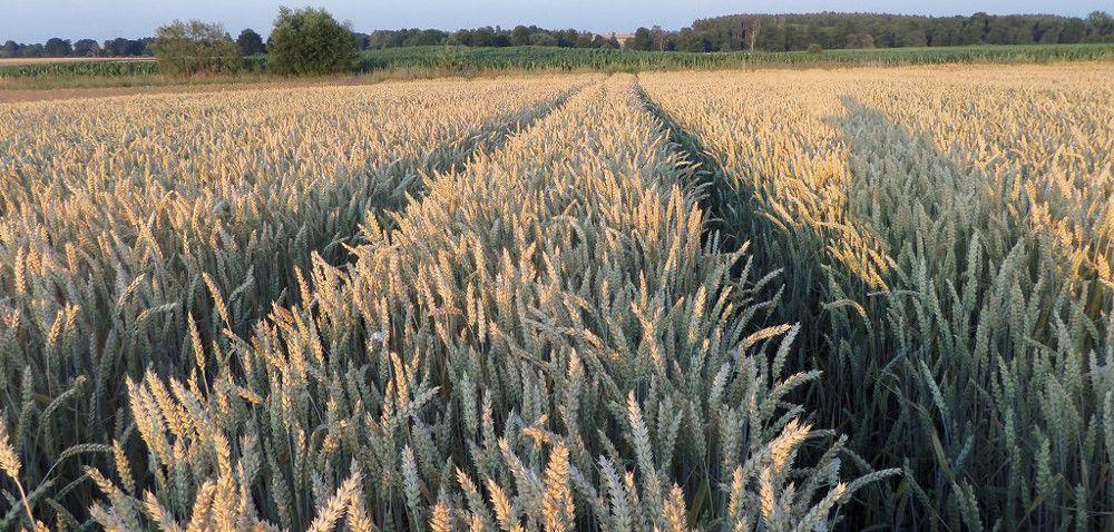 ochrona pszenicy ozimej; rolnictwo ekologiczne
