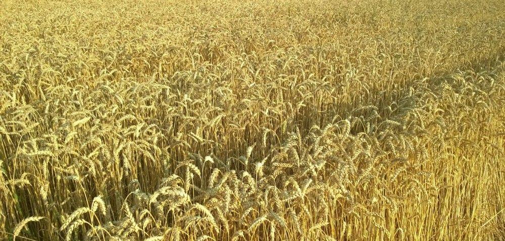 Pszenica jara: jakie nasiona wybrać?