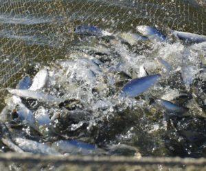 Ceny ryb wgórę