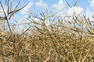 Rośliny oleiste: spadek podaży, wzrost importu