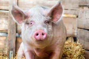 Program świnia plus – hodowcy nie chcą dopłat?