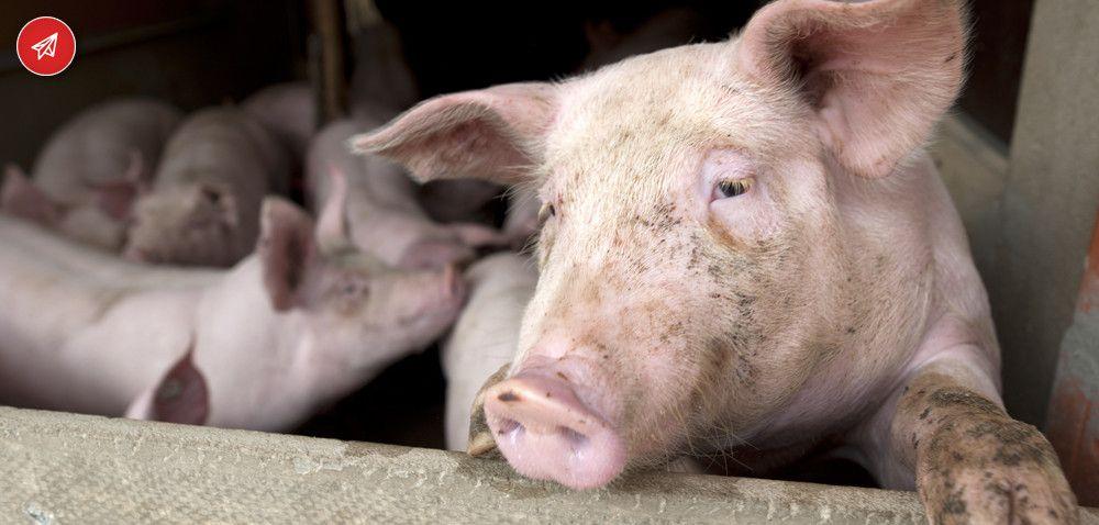 500 plus na świnie budzi kontrowersje