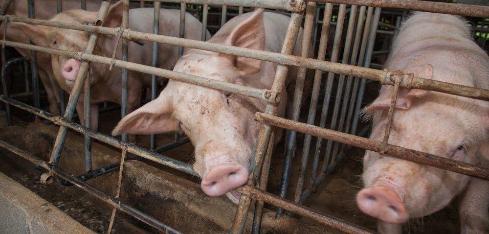 Ceny wieprzowiny na rynku. Zawirowanie wLubuskiem