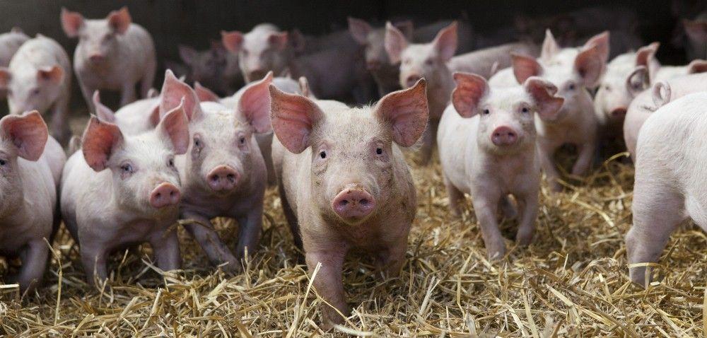 Duńsko-niemiecki gigant na rynku mięsa wieprzowego