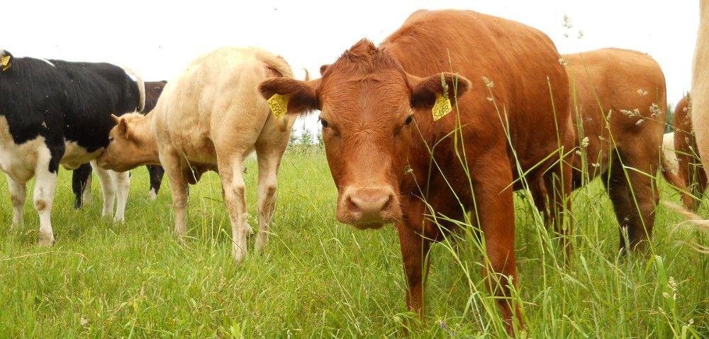 Systemy opasu bydła mięsnego