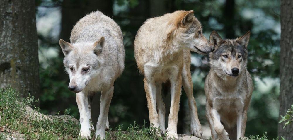 Wilki, bobry iżubry wuprawach: wyrządzone szkody