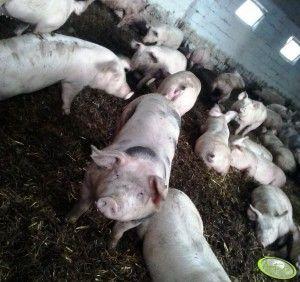 interwencja na rynku wieprzowiny