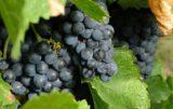 polskie wino - branża winiarska