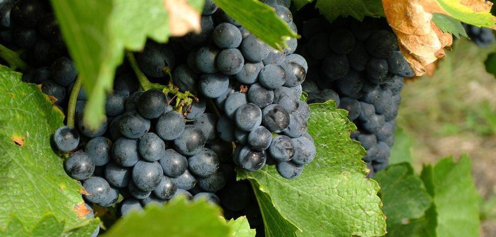 Branża winiarska rośnie jak na drożdżach