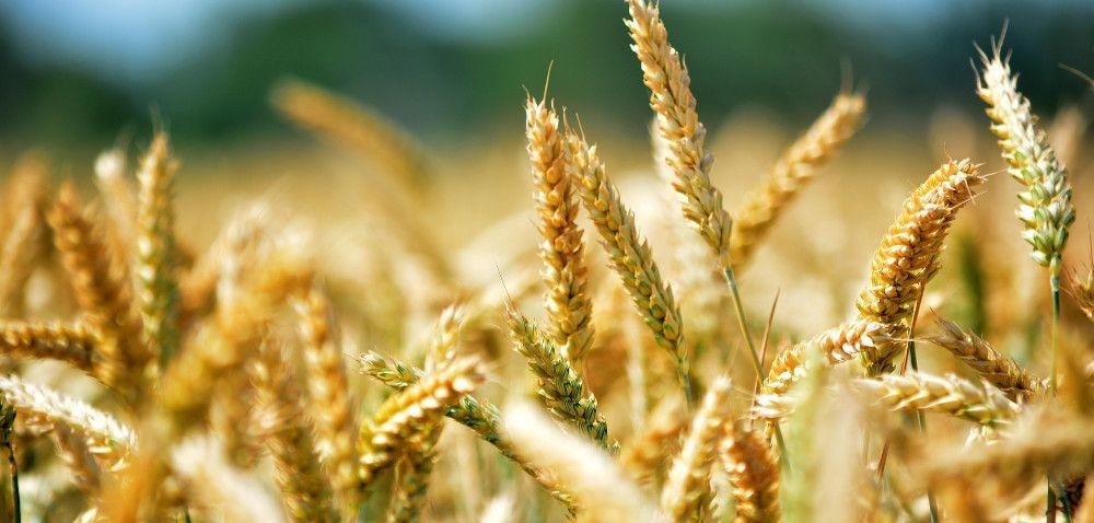 Produkcja zbóż wUE: prognozy coraz niższe