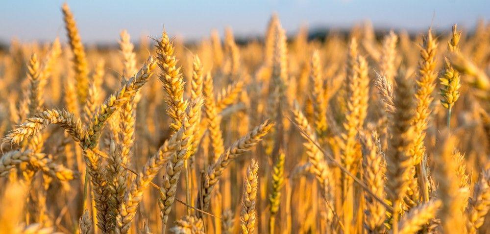 Prognozy zbożowych upraw na przyszły sezon