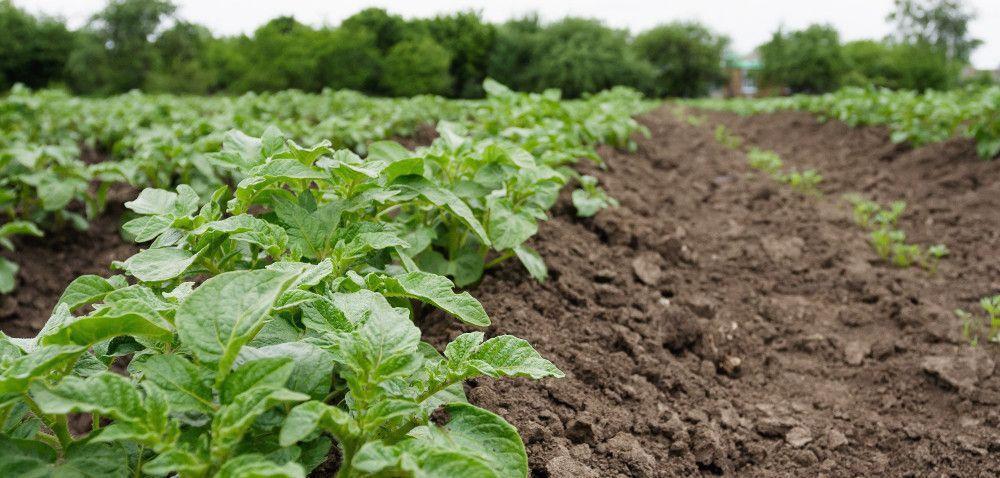 Rejestr środków do ochrony ziemniaka