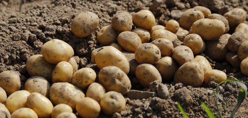Jakie odmiany ziemniaków wybrać?