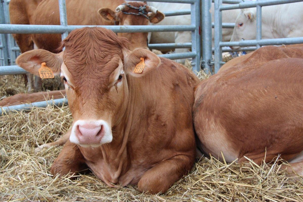 kolczykowana krowa